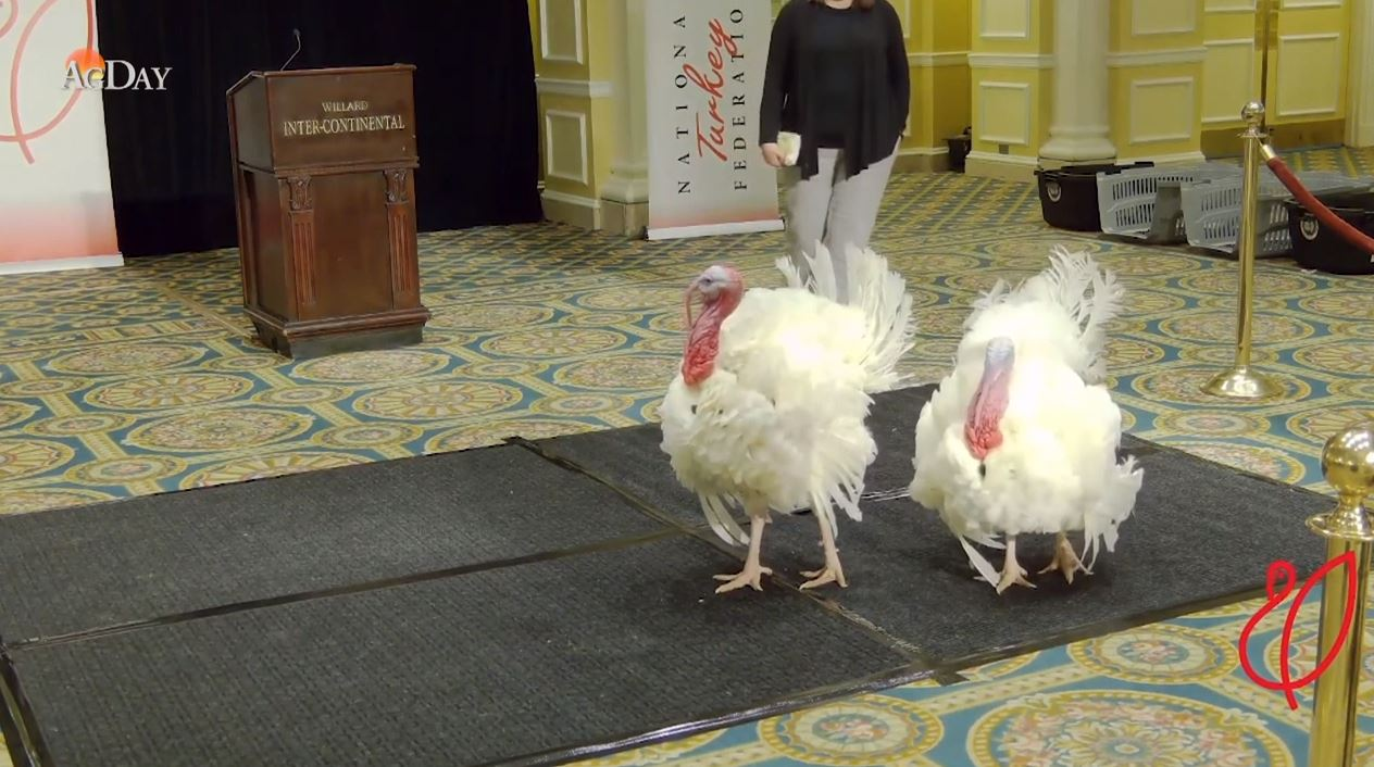 WHICH TURKEY SHOULD BE PARDONED BY THE PRESIDENT: CORN OR COB?