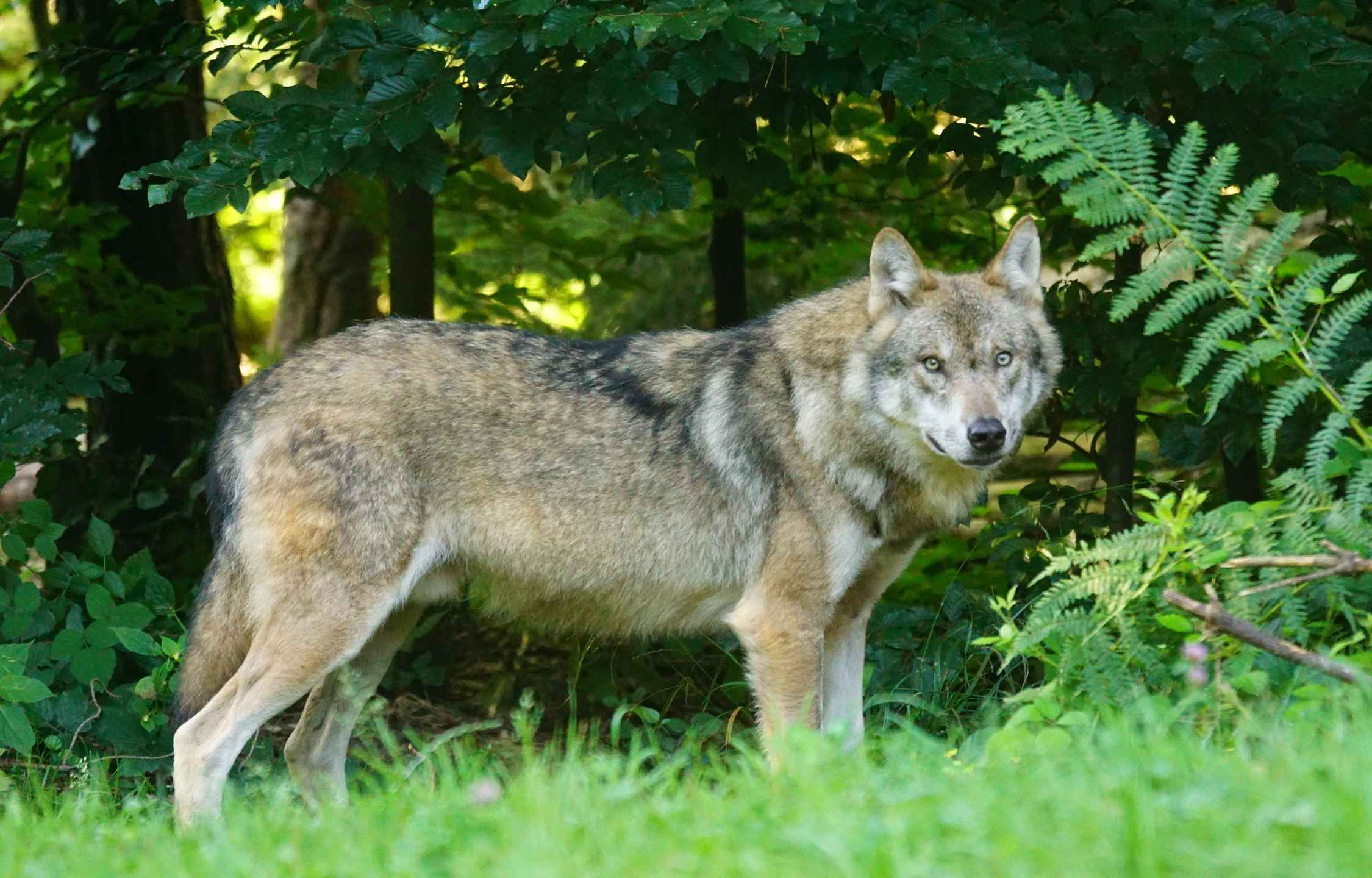 Wisconsin DNR resists starting wolf hunt immediately