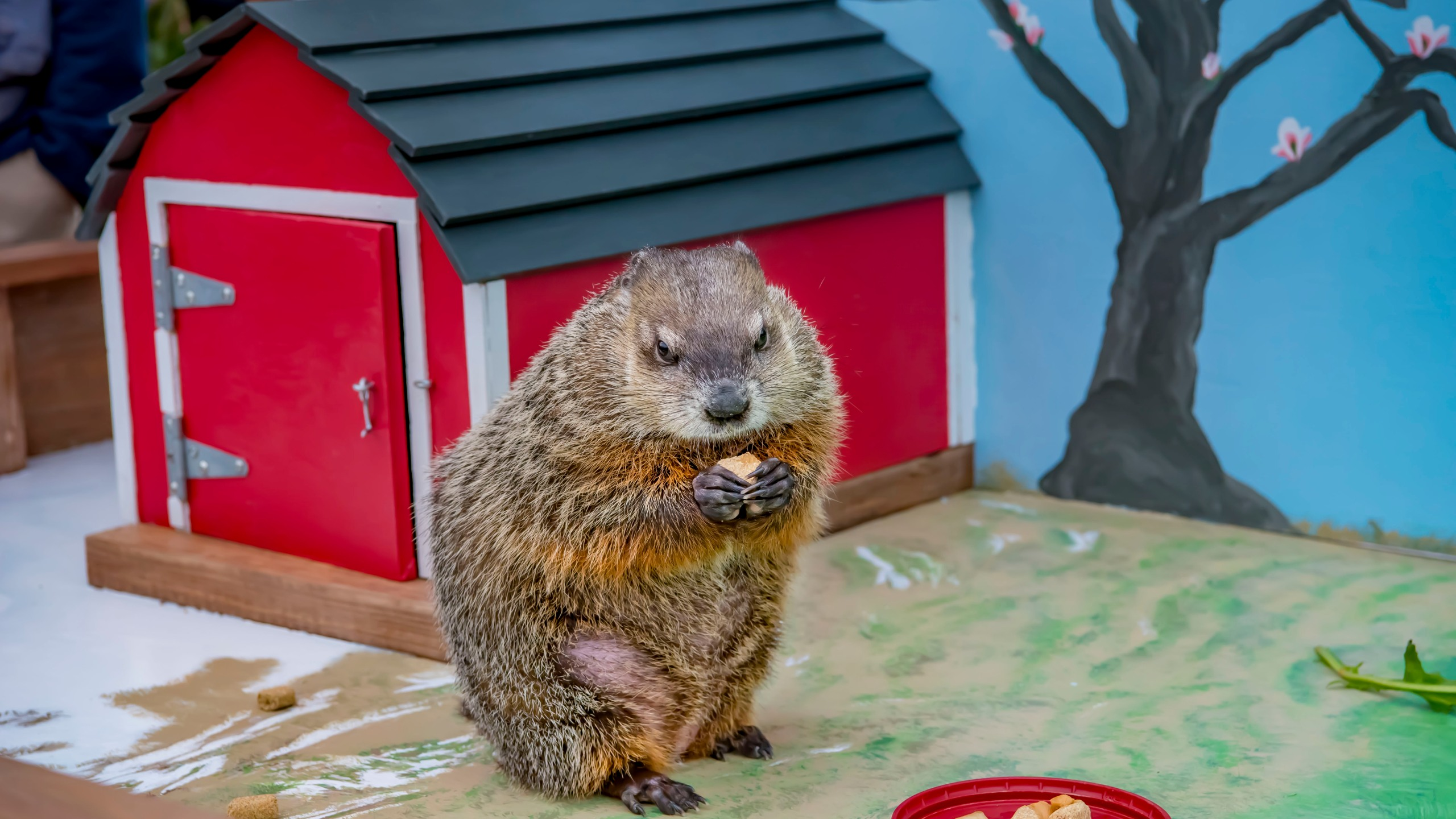 The Milwaukee County Zoo's groundhog Gordy readies for his closeup on Facebook Live February 2