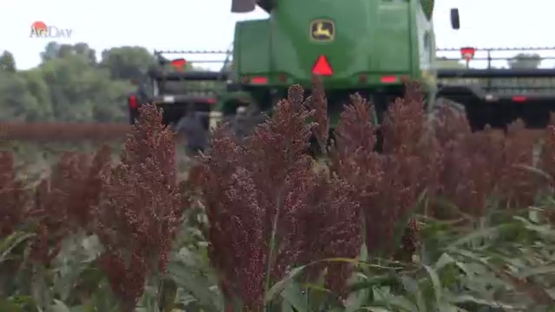 Why China is buying so much sorghum