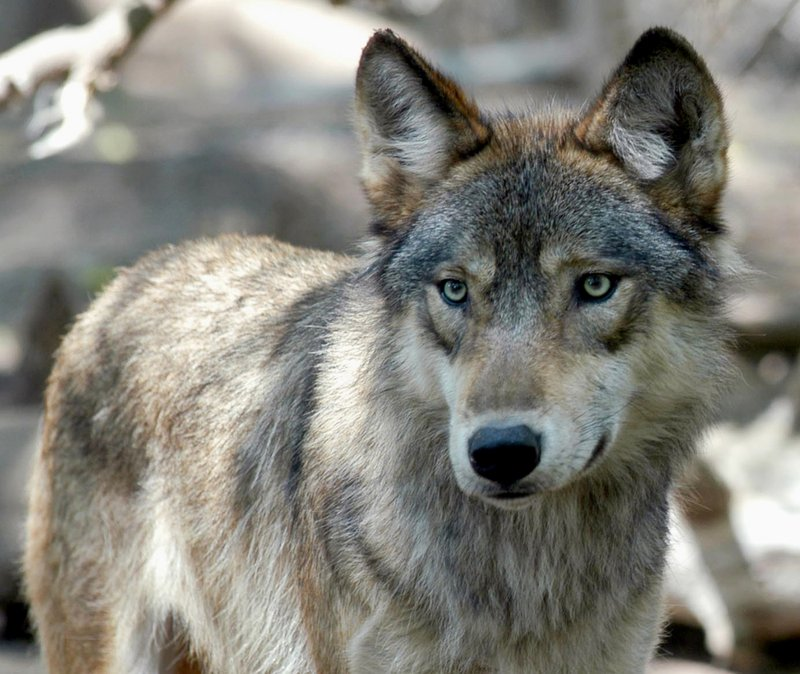 DNR plans early end to wolf season across most of state