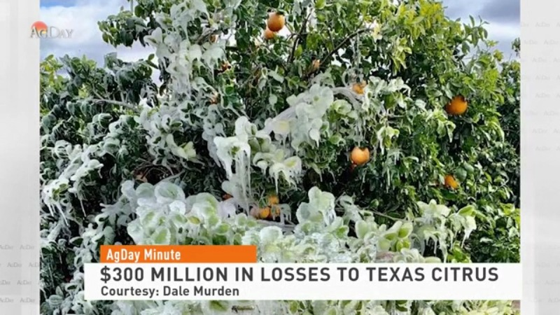 $300 million in losses to Texas citrus crop