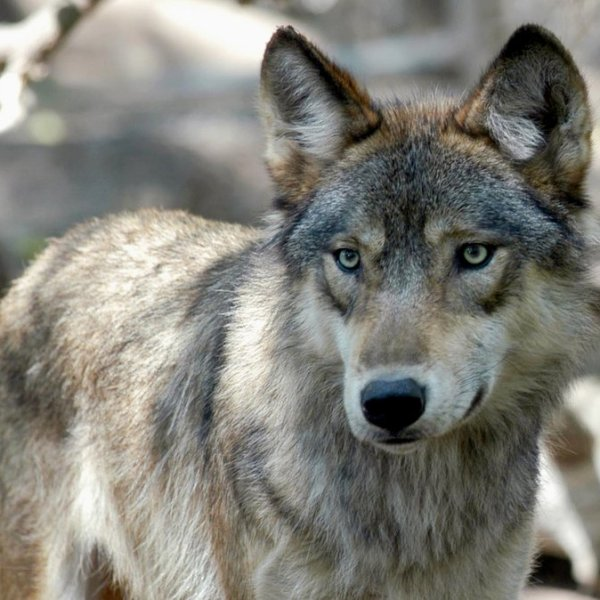 Hunters and trappers blow past Wisconsin's wolf kill target