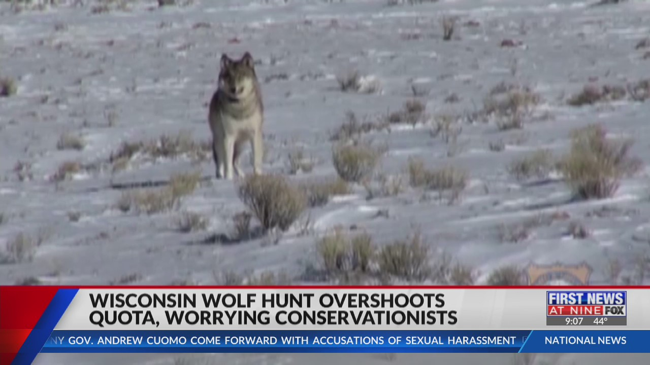 Wisconsin wolf hunt overshoots quota, worrying conservationists