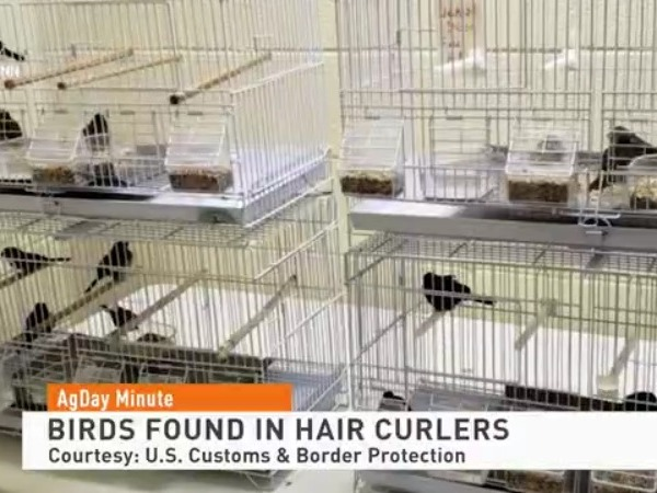Man tries to smuggle live birds in hair curlers