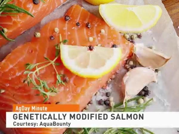 Genetically modified salmon head to restaurants