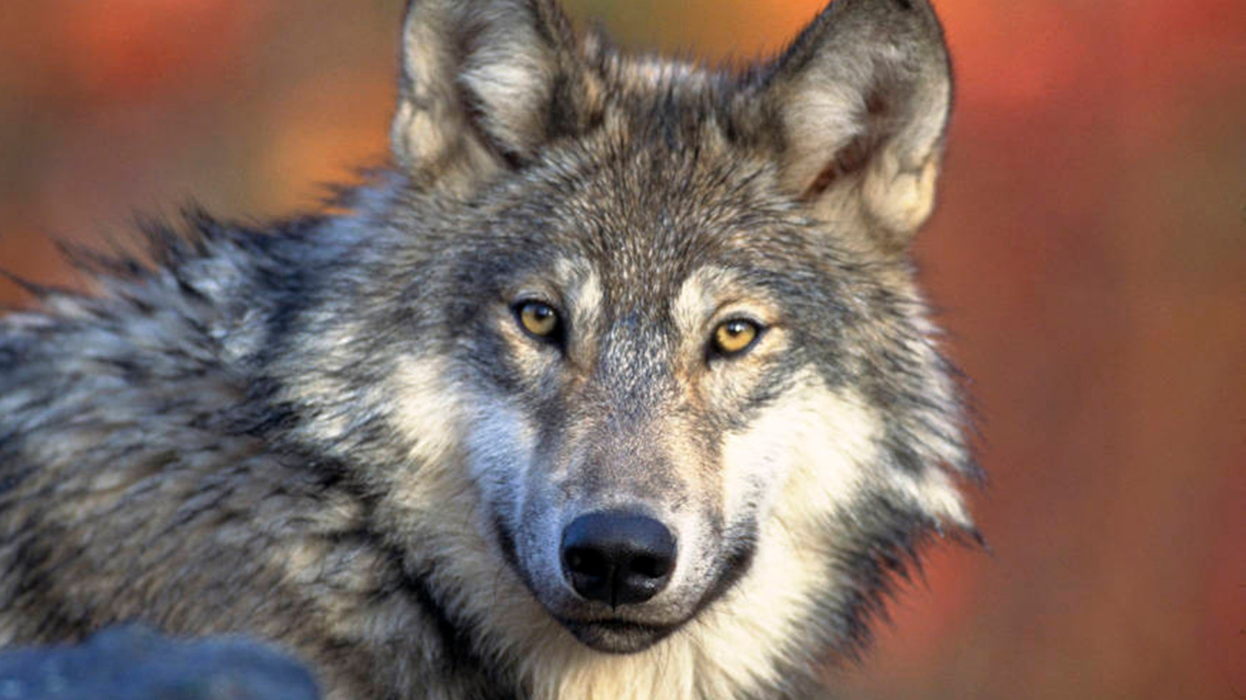 Wildlife officials propose 130-wolf limit for fall hunt
